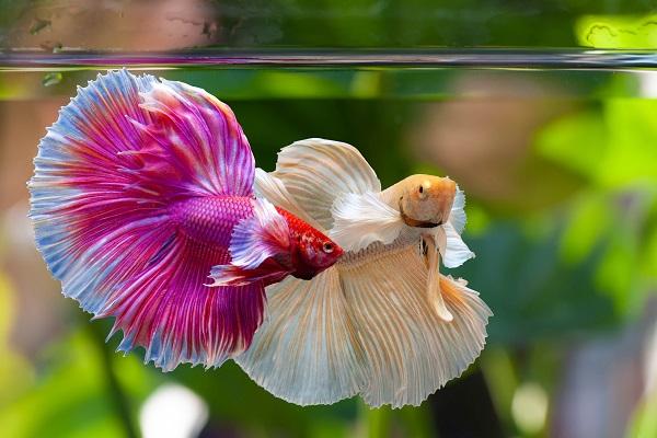 Peluang Usaha Budidaya Ikan Hias Cupang Rumahan